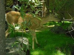 Bambi down near Yosemite Lodge at the Falls.