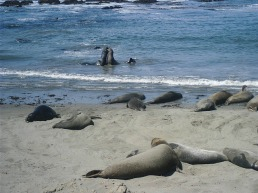 Elephant seals playing happily