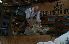 10.1388478466.sheep-shearing-display